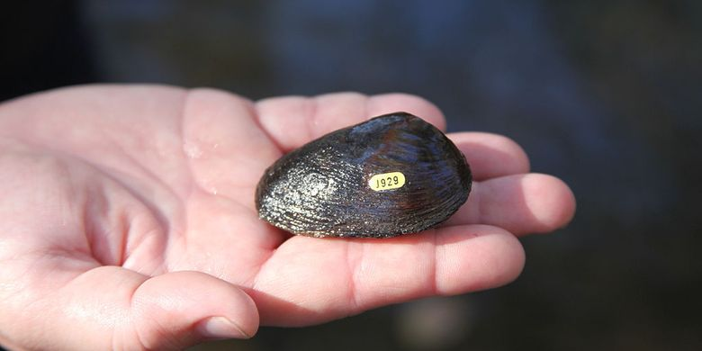 Pigtoe oval adalah spesies kerang air tawar yang terancam punah dari federal, moluska kerang air di keluarga Unionidae, kerang sungai. Spesies ini endemik di Amerika Serikat di negara bagian Georgia, Florida, dan Alabama.