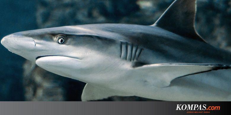 101+ Gambar Ikan Hiu Anak Sd Gratis Terbaru