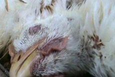 Musim Hujan, Lampung Waspada Flu Burung