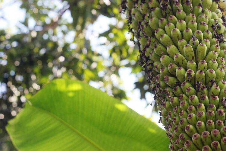 Pohon pisang seribu yang tumbuh di pekarangan rumah seorang warga Cianjur, Jawa Barat.