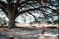 Pohon Raksasa di Lasem Jadi Spot Favorit Turis, Apa Menariknya?
