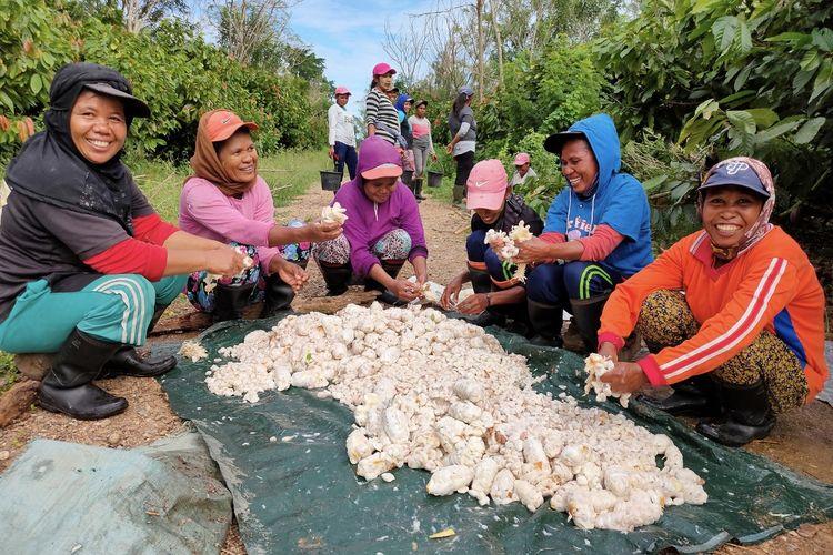 Para petani perempuan sedang memanen Kakao.