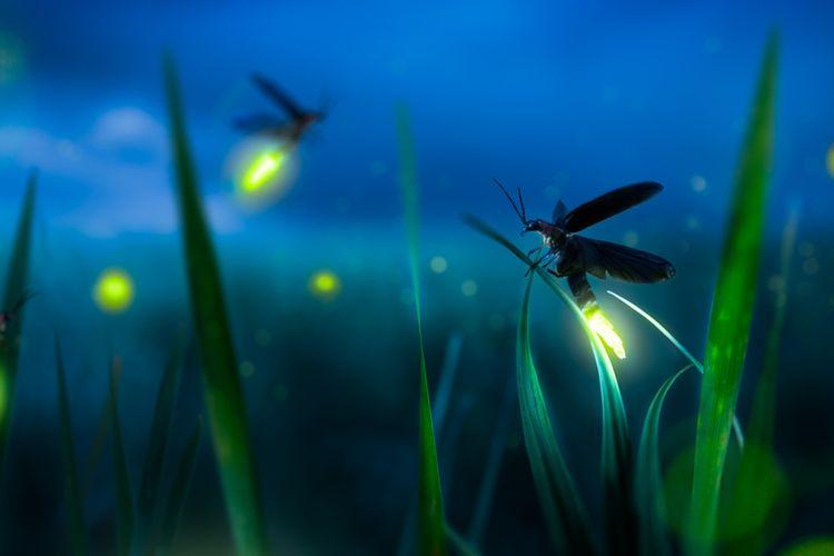 Ilustrasi kunang-kunang