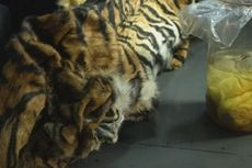 2 Induk Harimau Sumatera Dibunuh, 4 Janinnya Disimpan dalam Toples
