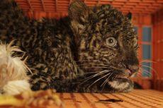 Kisah Penyelamatan Anak Macan Tutul Terjebak di Peternakan Ayam, Kelaparan dan Gigit Sepatu Boots