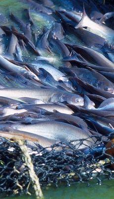 Cara Budidaya Dan Ternak Ikan Lele