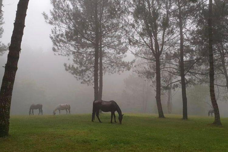 Kuda-kuda yang dilepaskan dengan bebas di kawasan Jungle Milk camping ground di Lembang