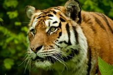 Harimau Mangsa 4 Warga Desa di India Utara