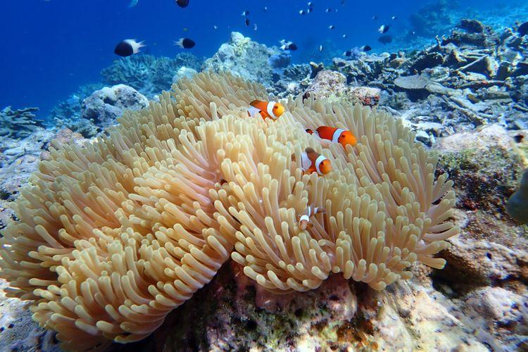 Ilustrasi anemon laut yang termasuk filum Cnidarian