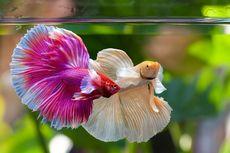 Perhatikan, 6 Tanda Ikan Cupang Bahagia