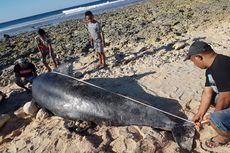 Sepanjang Juli 2020, 12 Ekor Paus Terdampar dan Mati di Perairan NTT