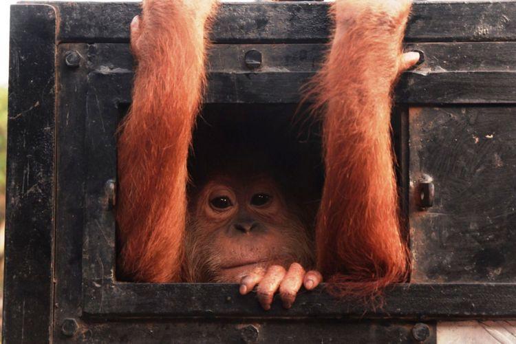 Orangutan Sumatera (Pongo Abelii) saat dievakuasi YOSL-OIC dan BBKSDA Sumut ke Medan, Kamis (24/1/2019)