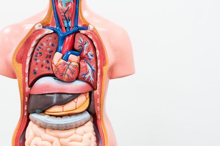 ilustrasi organ tubuh