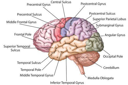 Pencuri dan Pembohong Punya Otak Lebih Kecil, Benarkah?