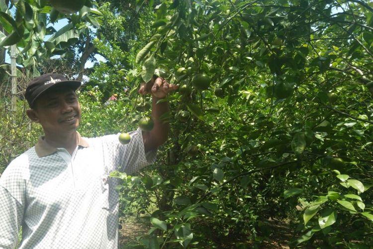 Maiful Hadi, warga Kelurahan Pakunden, Kecamatan Ponorogo, Kabupaten Ponorogo, Jawa Timur menunjukkan buah jeruk di kebunnya yang siap dipetik, Rabu (28/3/2018).