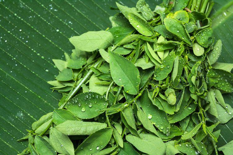 Ilustrasi daun katuk