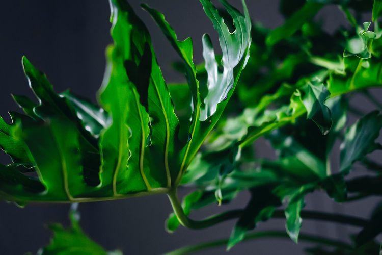 Ilustrasi tanaman hias Philodendron selloum.