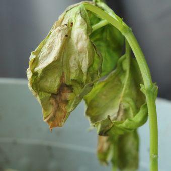 Ilustrasi tanaman yang terkena penyakit jamur Verticillium wilt atau layu verticillium.