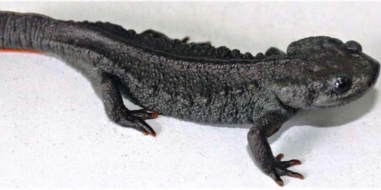 Salah satu spesies kadal buaya yang baru ditemukan, Tylototriton pasmansi.