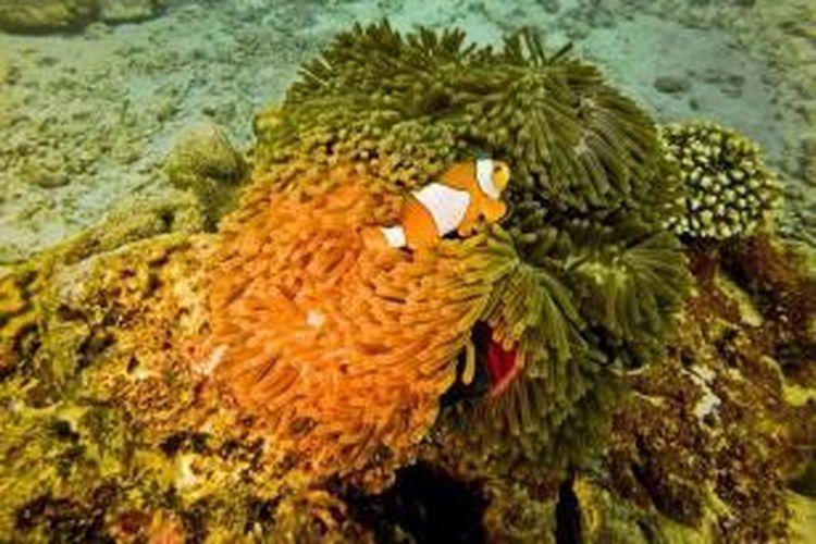 Ikan Anemon bermain di kedalaman 10 meter di Rubiah Jetty Dive Spot, Pulau Weh, Sabang, (2/1/2016). Di lokasi taman karang seluas 500 meter persegi ini telah dibangun miniatur tugu kilometer nol bawah laut oleh Panglima Laot Iboh bersama warga setempat dan tim selam dari Scuba Weh Diving Center, Rubiah Tirta, dan Hore-Hore Dive Club (H2DC) Aceh.