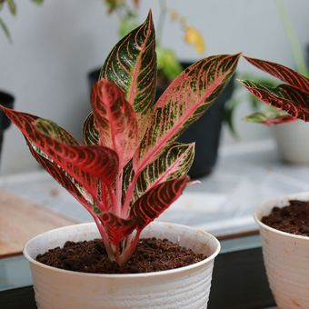 Ilustrasi tanaman hias Aglonema Pride of Sumatra.