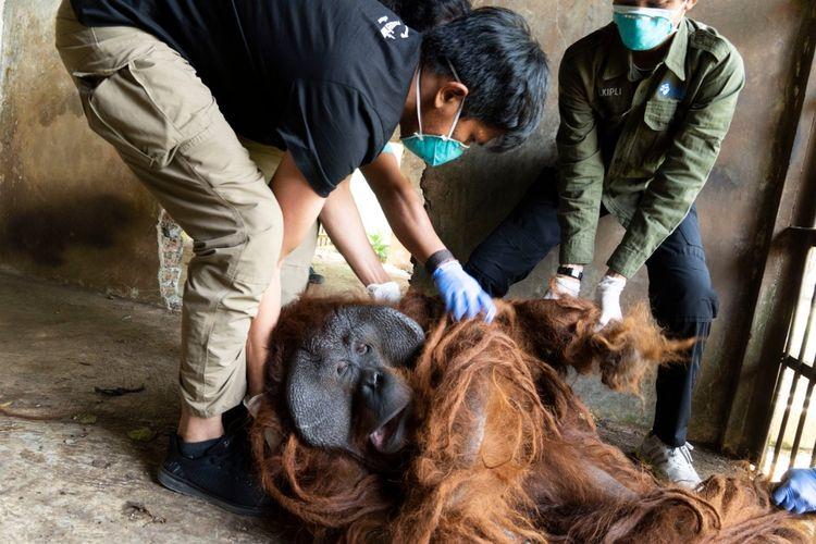 Tim gabungan Balai Konservasi Sumber Daya Alam (BKSDA) Jawa Tengah dan BKSDA Kalimantan Barat berhasil menyelamatkan dua individu orangutan Kalimantan (pongo pygmaeus) di Jawa Tengah.