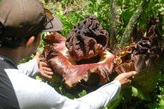 Melihat Munculnya Ratusan Bunga Bangkai di Hutan Segoro Gunung Grobogan
