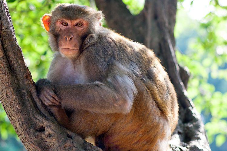 Ilustrasi monyet rhesus