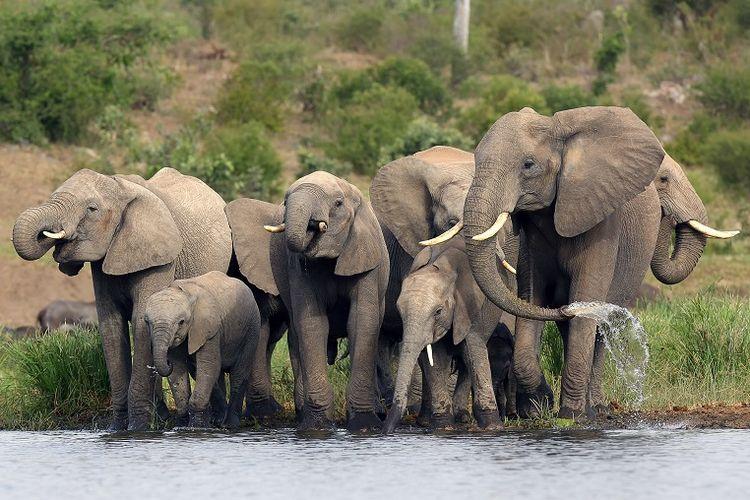 Ilustrasi spesies gajah Afrika