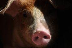 Flu Babi Pernah Jadi Pandemi, Ini 6 Faktanya
