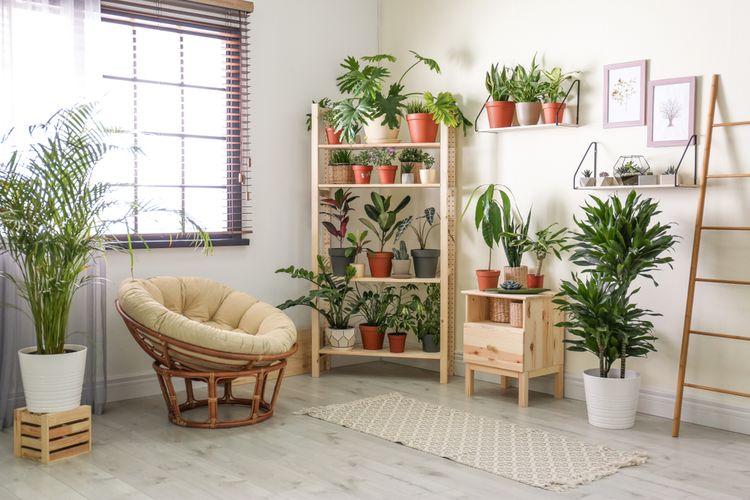 Ilustrasi tanaman hias di dalam rumah.