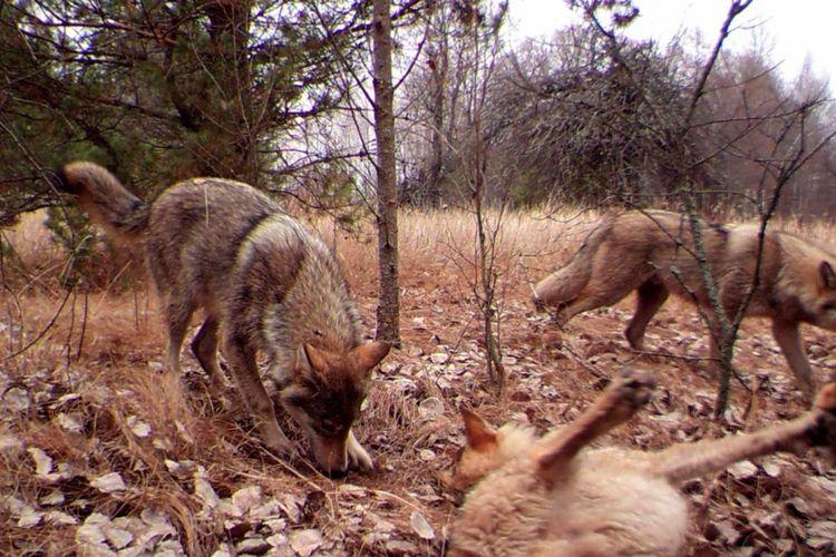 Serigala di Chernobyl