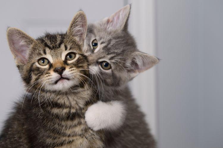 Ilustrasi kucing menggigit leher kucing lainnya.