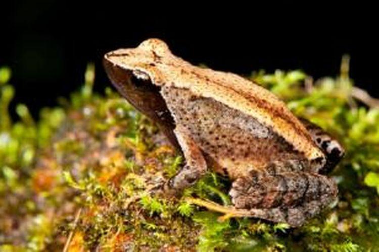 Dengan penemuan spesies ini, jumlah spesies katak penari menjadi 24.