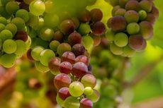 Hal Penting yang Perlu Diperhatikan dalam Merawat Tanaman Anggur