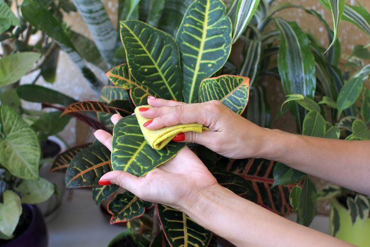 Menegelap daun tanaman hias menggunakan cairan susu ternyata mamou membuat daun tersebut terlihat mengkilap.
