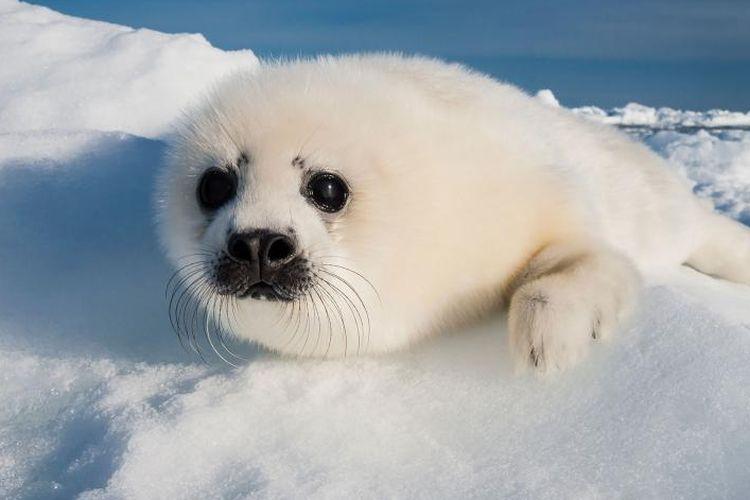 Anak anjing laut harpa
