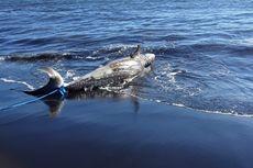 Ikan Hiu Sepanjang 4 Meter Terdampar Mati di Pantai Selatan Jember