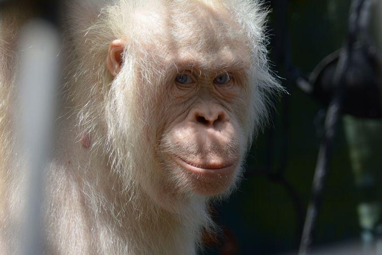 Alba, orangutan albino paling langka di dunia saat ini ditangkarkan di Kalimantan Tengah akan segera pindah ke pulau buatan pertengahan tahun 2018.