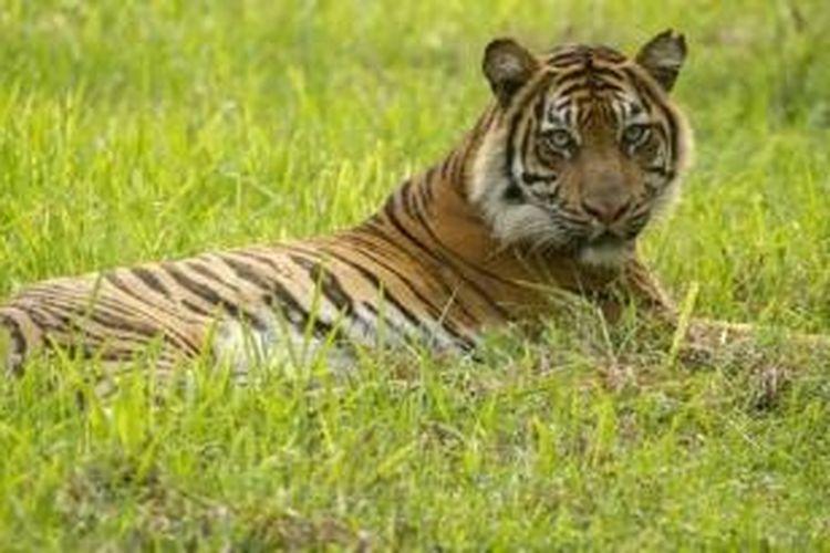 Penjaga Kebun Binatang Tewas Diserang Harimau Sumatera