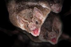 Kelelawar Vampir Betina Suka Berbagi Makanan dan Saling Merawat