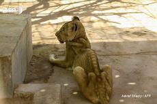 Potret Singa di Kebun Binatang Sudan: Kelaparan, Kekurangan Gizi dan Mati