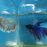 Serba-serbi Hewan: Kenapa Ikan Cupang Mengeluarkan Banyak Gelembung?