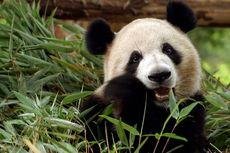 4 Fakta Menarik Panda, Hewan Herbivora Bertaring Tajam