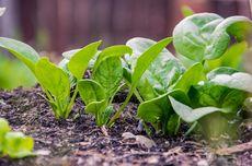 6 Sayuran yang Mudah Ditanam dan Cepat Panen