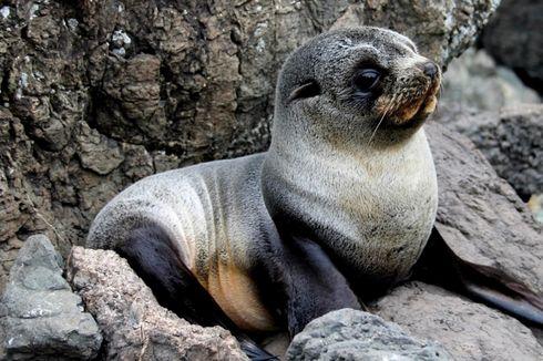 6 Bayi Anjing Laut Ditemukan Mati Tanpa Kepala di Selandia Baru