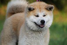 Fakta Unik Ras Anjing Akita Inu yang Setia dan Menggemaskan
