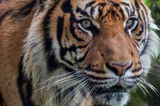 Konflik Harimau dan Manusia di Aceh, Turun ke Permukiman dan Warga Takut Keluar Rumah