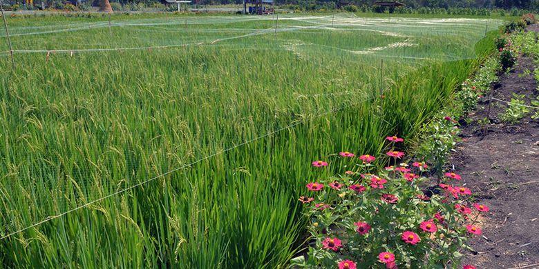 Sebagian tanaman padi yang dikembangkan di Desa Besur, Kecamatan Sekaran, Lamongan.