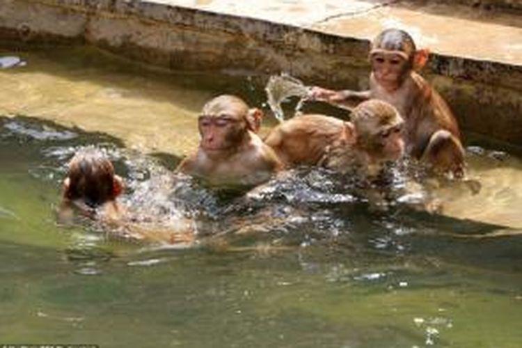 Puluhan ekor monyet berendam di kolam di sebuah kuil di negara bagian Rajashtan, India untuk mendinginkan diri akibat terjangan hawa panas yang menghantam negeri itu.